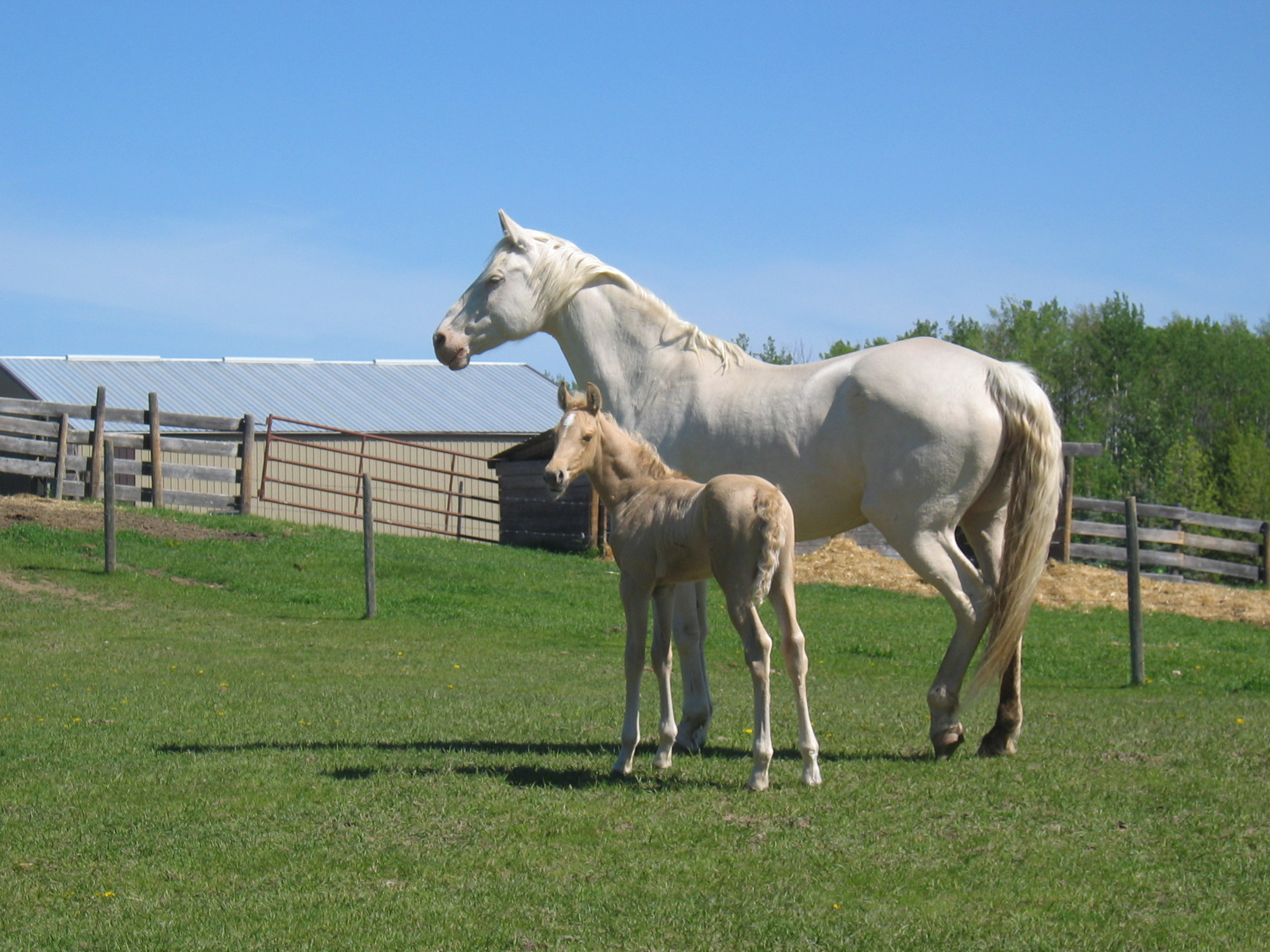 Cremello Capital of Canada Baptiste Lake Morgans - A Foal's Paradise By Larry and Marg Armfelt
